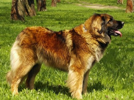 leonberger kennel goldenen leon und e shop f r hunde. Black Bedroom Furniture Sets. Home Design Ideas